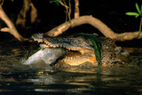 Saltwater Crocodile Eating Barramundi