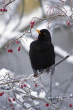 Blackbird Male Sitting in Hawthorn Bush in Winter