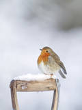 Robin on Spade Handle in Snow