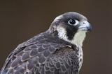 Peregrine Falcon Close-Up of Single Immature Bird