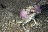 Secret Toad-Headed Agama