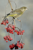 Greenfinch Perched on Guelder Rose Bush in Garden