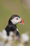 Puffin in Campion