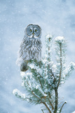 Great Grey Owl Perched on Conifer in Snow Storm