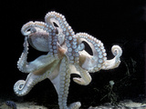 Common Octopus Papier Photo