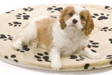 Cavalier King Charles Spaniel Puppy Lying on Bed