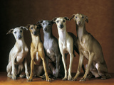 Small Italian Greyhounds Five Sitting Down Together