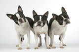 Boston Terriers  3 Standing Together