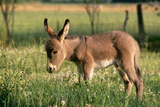 Donkey Foal in Meadow  Side On