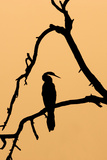 Indian Darter  Snakebird  Anhinga Silhouette