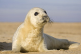 Grey Seal Pup on Beach