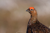 Red Grouse Single Adult Male Looking at the Camera