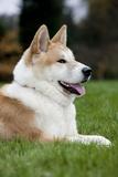 Akita Inu Dog