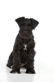 Miniature Schnauzer 10 Week Old Puppy Sitting Down
