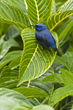 Purple Honeycreeper on Large Green Leaf
