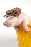 Piglet in a Bucket Wearing a Hat