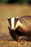 European Badger Close-Up  Front-View
