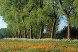 Landscape with Poplars  Cow Parsley and Meadow Buttercup