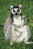 Ring-Tailed Lemur Portrait  Sitting on Grass