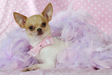 Chihuahua Wearing Pink Collar Laying on Purple