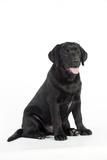 Black Labrador Sitting