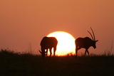 Gemsbok Silhouette at Sunset