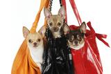 Chihuahuas in Handbags