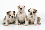 Three Bulldog Puppies  Studio Shot