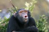 Chimpanzee Pant-Hoot