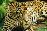 Jaguar Sitting  Looking Alert