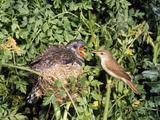 Cuckoo Young in Nest Being Fed by Reed Warbler