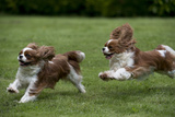 Cavalier King Charles' Running in Garden