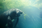 South American Manatee Eating Aquatic Grass