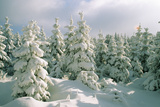 Conifers Covered in Snow