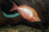 Fish Red Rainbowfish