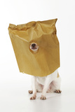 Chihuahua in Paper Bag with Nose Showing