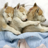 Husky Puppies (7 Weeks Old) Asleep in Bed