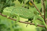 Chameleon Female