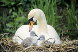 Mute Swan with Cygnets at Nest