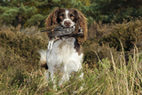 English Springer Spaniel Holding Grouse in Mouth