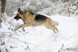 German Shepherd Jumping over Snow Covered Ditch