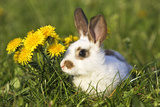 Domestic Rabbit Young with Dandelions