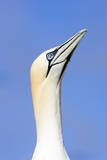 Northern Gannet Looking Up to Greet Incoming Mate