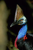 Southern Cassowary Male in Tropical Rainforest