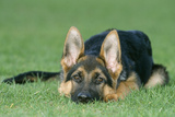 German Shepherd  Alsatian Dog Young  Lying Down