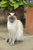 Blue Point Siamese Cat Sitting in Front of a Flower Pot