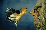African Hoopoe in Flight Feeding Brooding Partner