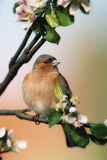 Chaffinch Male on Branch of Appletree with Blossoms