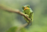 Ruwenzori Three Horned Chameleon Adult Female