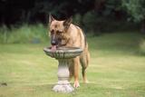 Alsatian Dog Drinking from Bird Bath